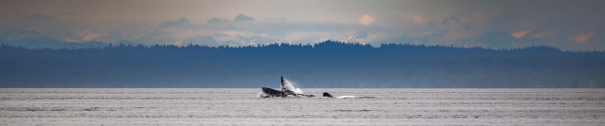 whale in prince william sound